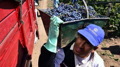 Esta temporada  la firma de un contrato será obligatoria solo para mostos y uvas para vinificar.