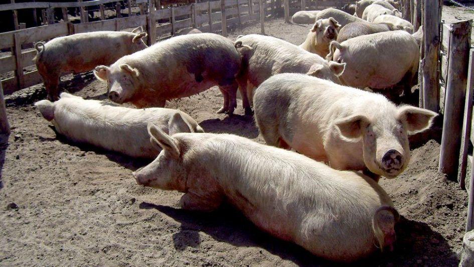 Porcinos: el 2018 cerró complicado pero esperan recuperación este año