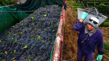 Las bodegas deberán entregar 65 litros por cada quintal de uva.