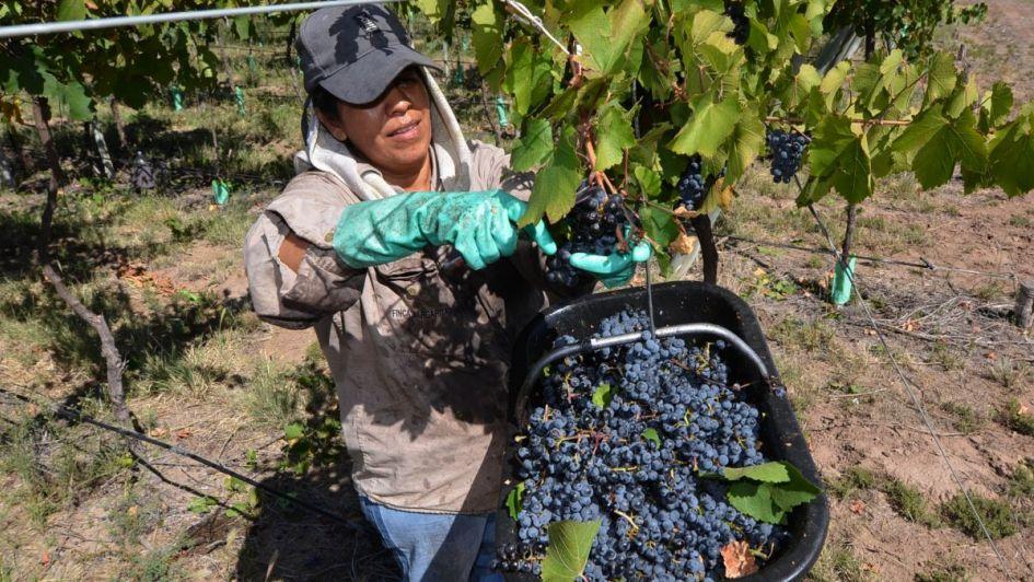 Se certificó que la producción de uvas pampeanas no están afectadas por moscas de fruta