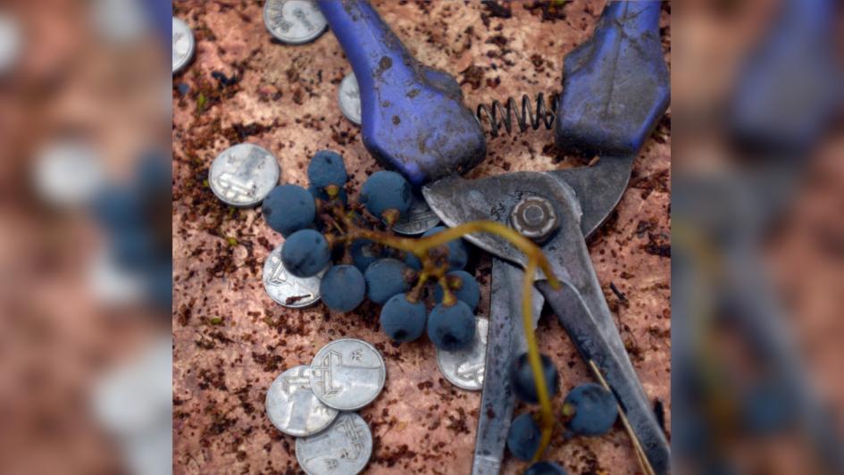 Vendimia 2019: buena calidad y maduración de la uva en el inicio de la temporada