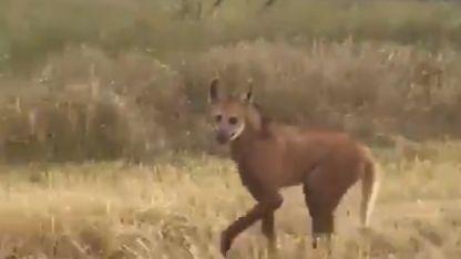 A pesar de su tamaño y apariencia es inofensivo para el humano y el ganado