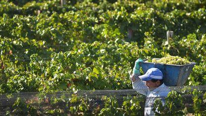Sistema tradicional. La cosecha manual es la más utilizada en Mendoza.