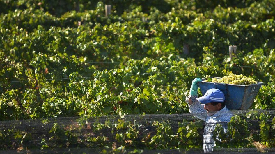 Aumenta el precio y en una semana el gobierno compra  175 mil quintales de uva