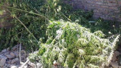 Las plantas incautadas en Buena Nueva.