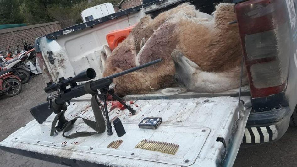 Detuvieron dos cazadores con dos guanacos muertos en Uspallata, la hembra estaba preñada