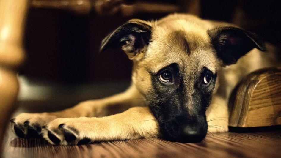 Atención: las mascotas también se deprimen