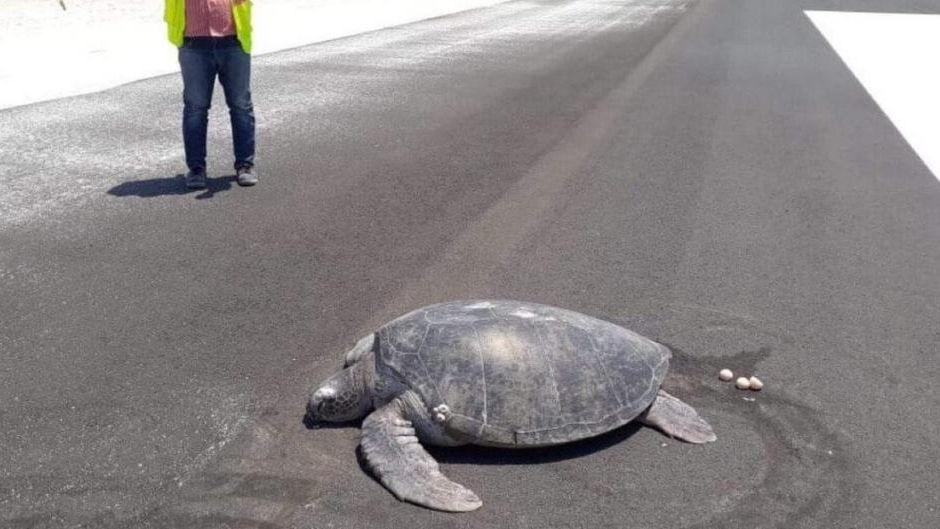 Una tortuga salió del mar para anidar pero se encontró con un aeropuerto