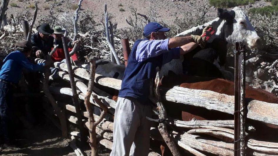 Vacunan bovinos en la zona de Precordillera