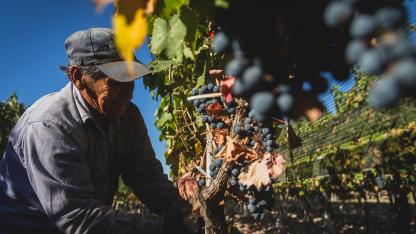 Ganan protagonismo. Las uvas de malbec, syrah y bonarda son algunas de las que más crecieron en superficie en las últimas dos décadas.