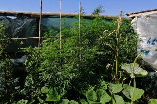 Las plantas de Cannabis son camufladas con otros cultivos en las plantaciones.