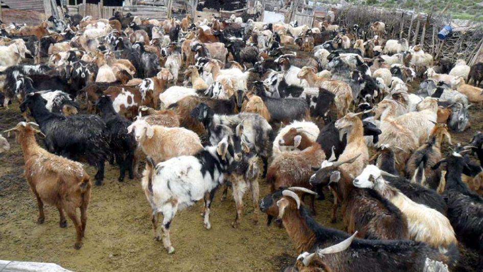 En San Luis, descubren una maleza tóxica que afecta al ganado caprino