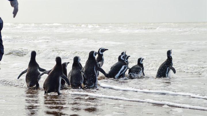 Pijuí, el pingüino que encontraron en el patio de una casa cordobesa volvió al mar