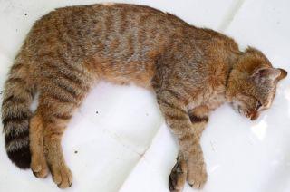 Es un ejemplar silvestre de tamaño superior a la media del gato doméstico.